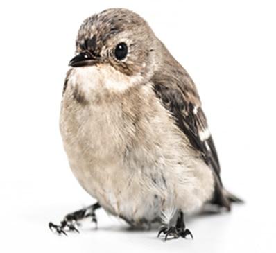 恋愛見習い鳥